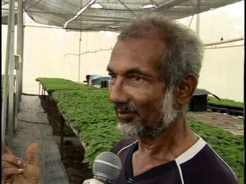 Improving Hot Pepper Cultivation