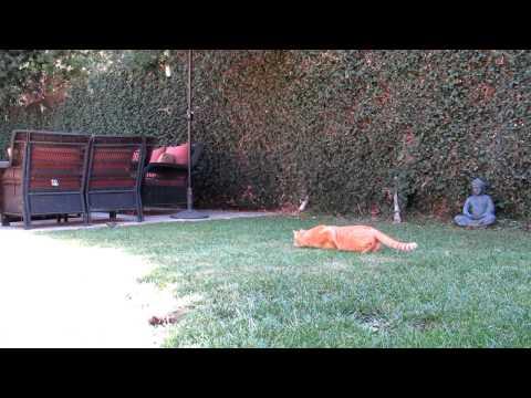Blind Cat Hank Hunting a Bird