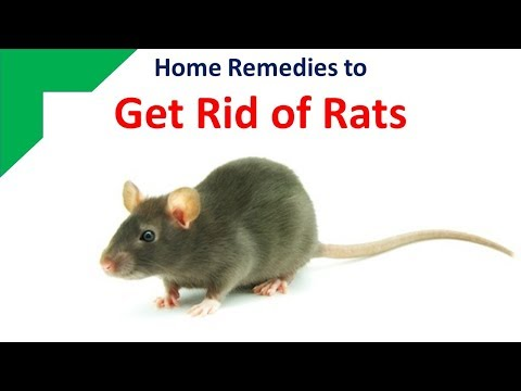Home Remedies To Get Rid Of Rats With Ammonia And  Bay Leaf