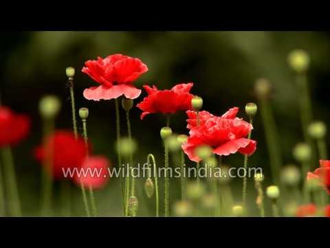 Not opium poppies, but regular garden red Poppy