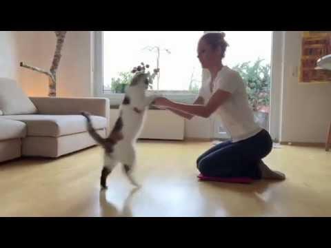 DaVinci clever cat doing tricks like a dog