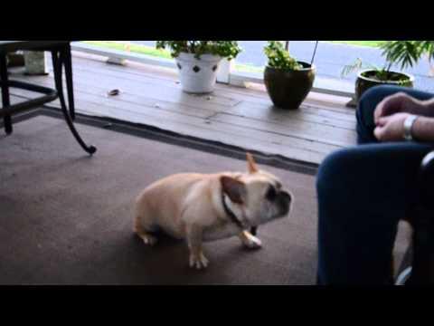 Doug the French Bulldog sneezing on command