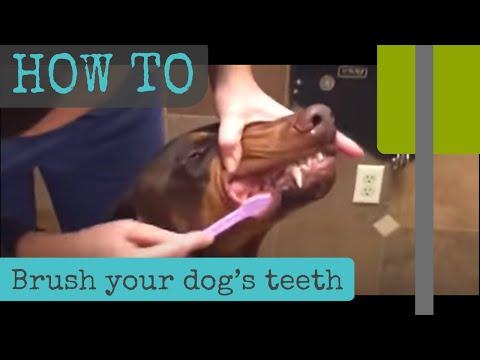 How to brush a dog's teeth
