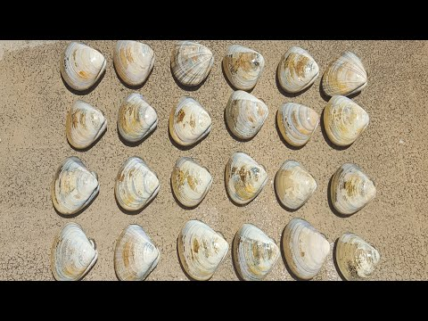 How to forage clams on the beach (Pismo Clam)