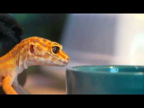 Gecko eating mealworms