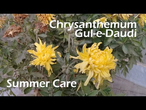 Chrysanthemum Summer Care | Gul-e-Daudi