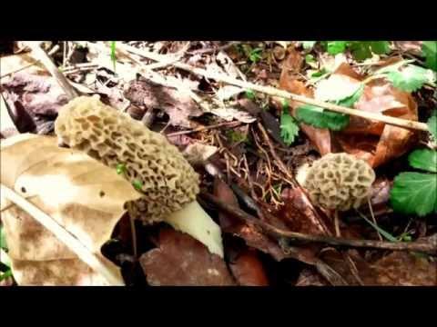 Morel Mushroom Hunting in Missouri 2014