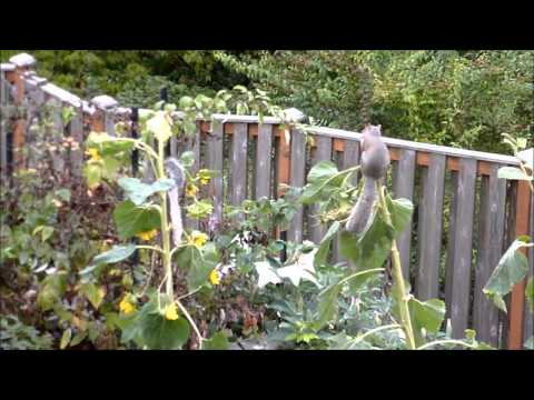 Pat Lake Squirrels in Sunflowers