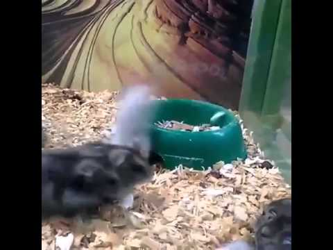 Funny Hamster Cartwheeling