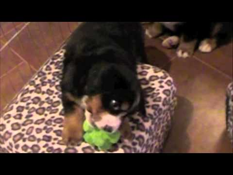 Bernese Mountain Dog Puppies Undeniably Adorable
