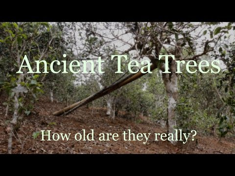 How to estimate the age of ancient tea trees