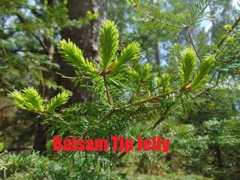 Balsam Tip Jelly