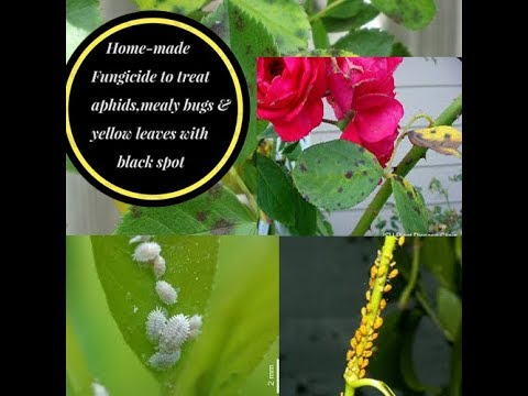 homemade fungicide to treat yellow leaves with black spots, aphids & mealy bugs (for rose plants)