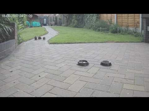 Mother Hedgehog Moves babies into my Garden 1