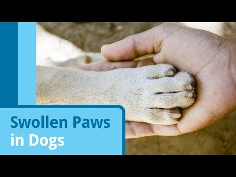 Swollen Paws in Dogs