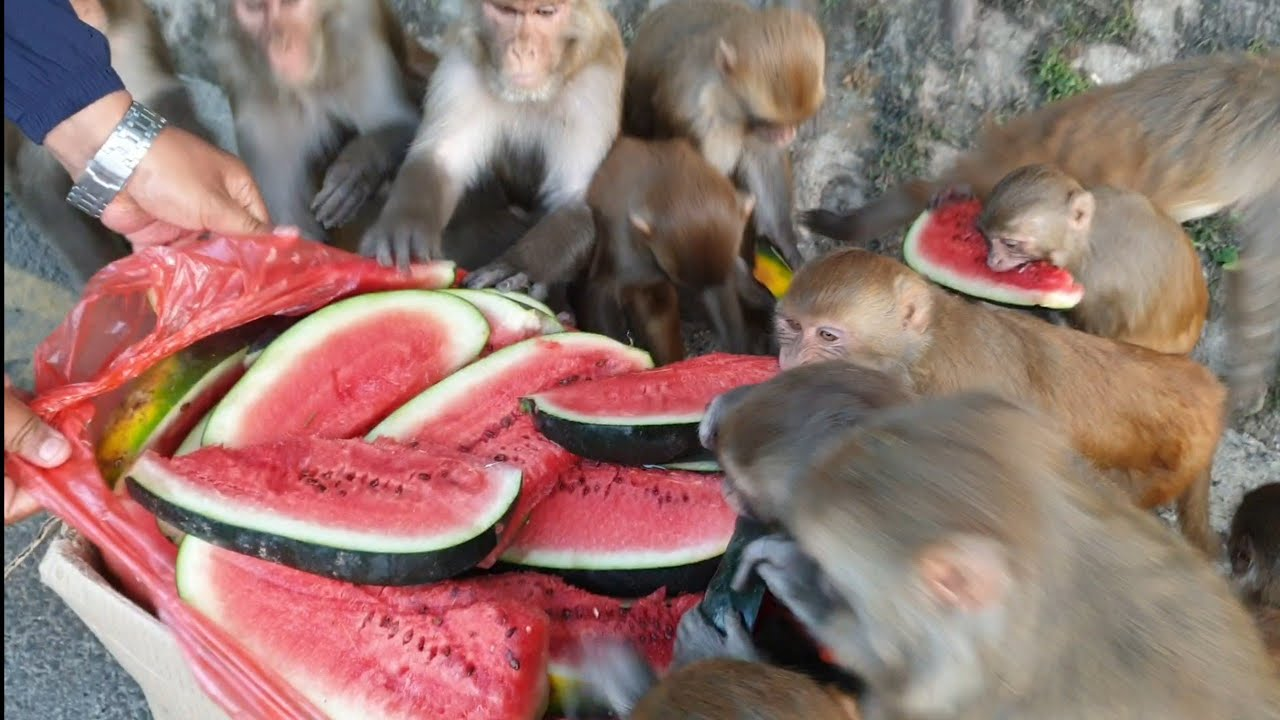 feeding 40 kilogram watermelon to the Hungry wild monkey