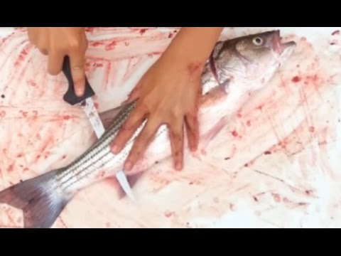 How To: Fillet and Clean a Striped Bass Leaving No Bones, Easy To Follow Instructions For Stripers