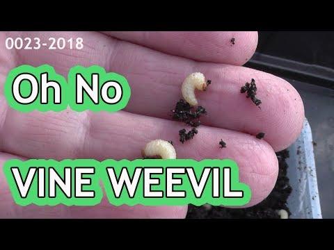 OH NO VINE WEEVIL    0023-2018