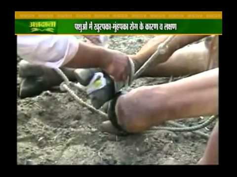 Know how to protect cattle from foot and mouth disease
