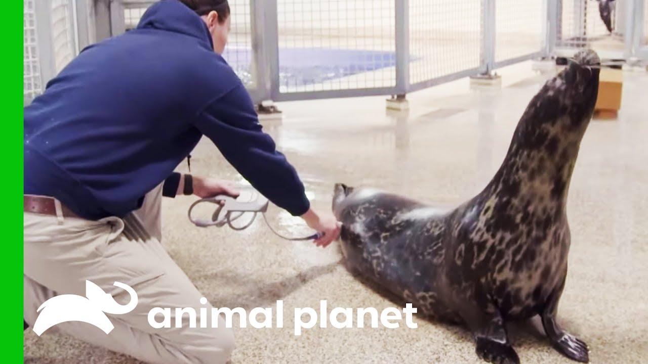 Halo The Seal May Be Pregnant   The Aquarium: A Deeper Dive