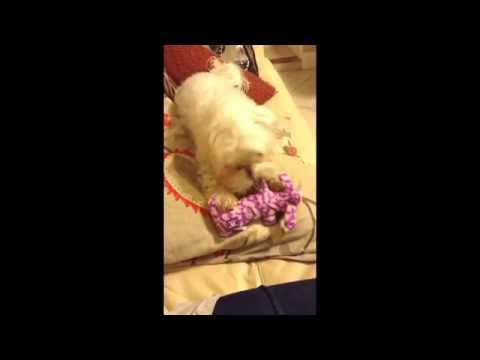 Puffin The Cute Maltese Playing with his toy!