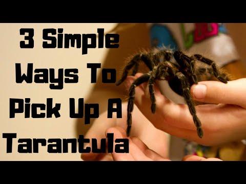 3 Ways To Pick Up A Tarantula