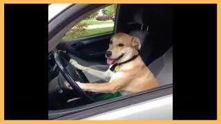 Dog Driving Car Vine - Funny Dog Drive With Car