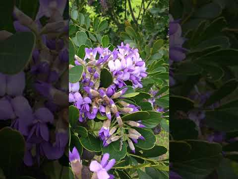 Texas mountain laurel with bees (part 1)