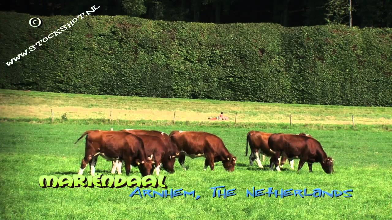 Brandrode runderen, landgoed Mariëndaal