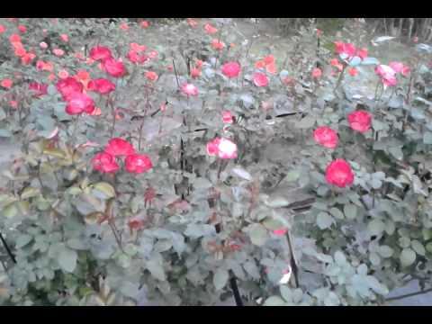 Rose Flower Garden in India