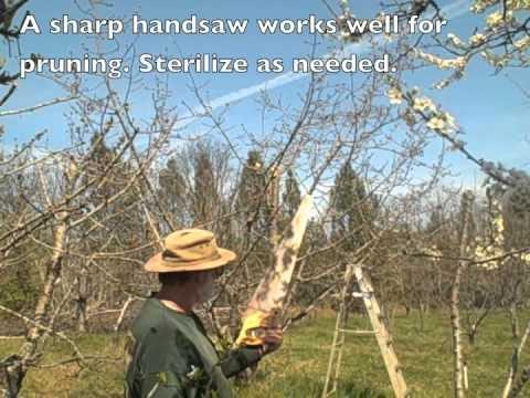 Pruning Cherry Tree