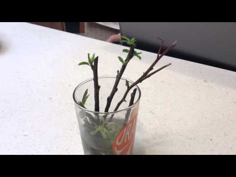 Starting Cherry Tree Cuttings in water with willow tree pieces!