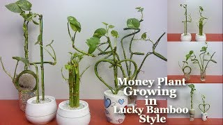Money Plant Growing in Lucky Bamboo style | How to Grow Money Plant Your Own Style | Money Plant |