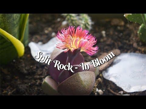 Royal Flush Split Rock Blooming!