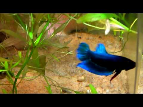How to Breed Betta Fish ?