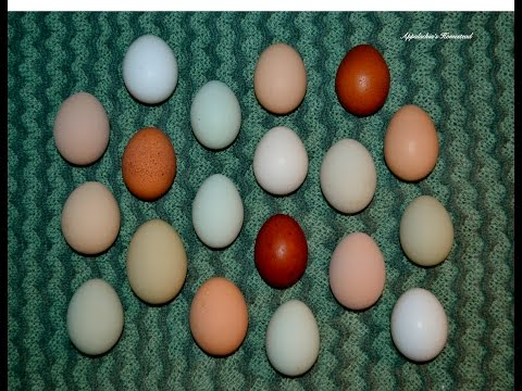 When Will My Hens Start Laying Eggs?