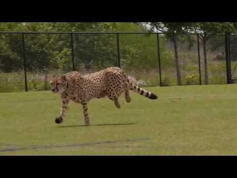 Cheetahs Running!