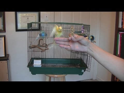 How to Get Your Parakeet to Fly to You