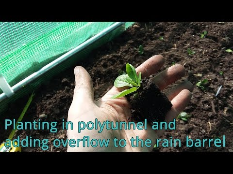 Planting in polytunnel and adding overflow to the rain barrel
