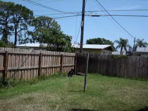 my dog jumping up a six foot fence