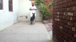 Desi dog training
