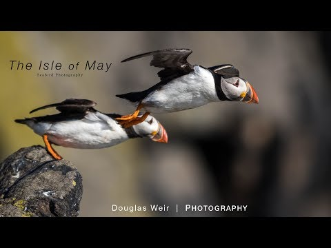 Wildlife Photography | Isle of May, Scotland - A Seabird Paradise