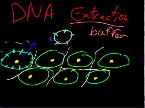 DNA extraction explanation