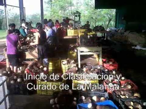Agricola MC Empaquede malanga coco Enero 2013.wmv