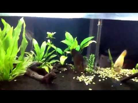 Discus and altum angel in planted tank. An update.