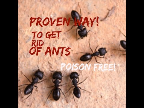 How To Get Rid of Ants In Your House FAST!