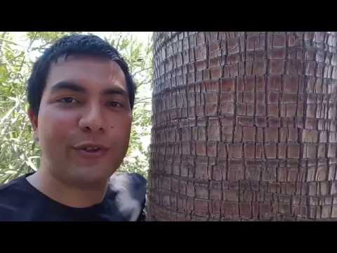 How to trim Palm Tree's leaves