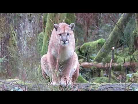COUGAR STALKS MAN ON VANCOUVER ISLAND