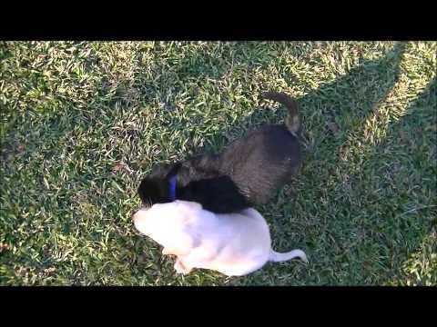 Diabetic Alert Dog Training (Howard Wade)
