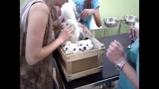 Prva vakcinacija - Prelepi maltezeri